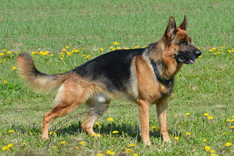 photograph of german shepard