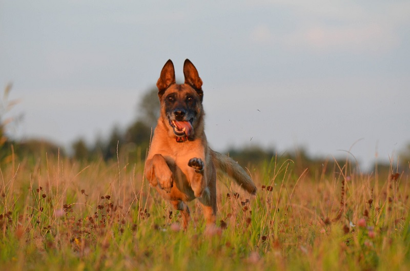 photograp of belgian malinois