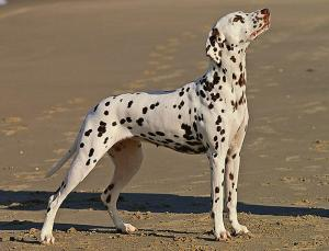 photograph of dalmation